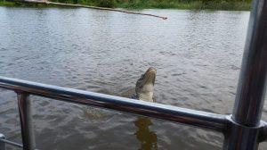 aligator temting