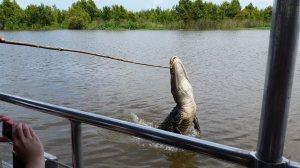 aligator treat